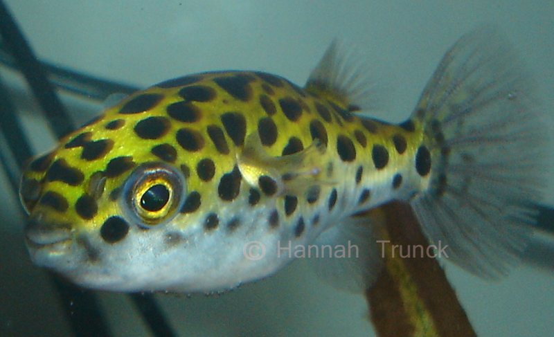 freshwater puffer fish. Could you lie to this little